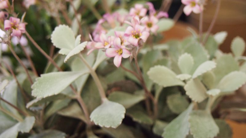【多肉植物】カランコエ「プミラ」