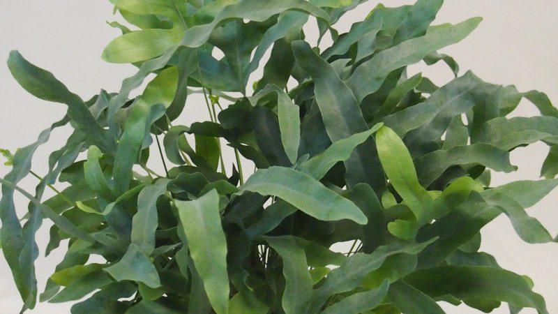 【観葉植物】フレボディウム「ブルースター」