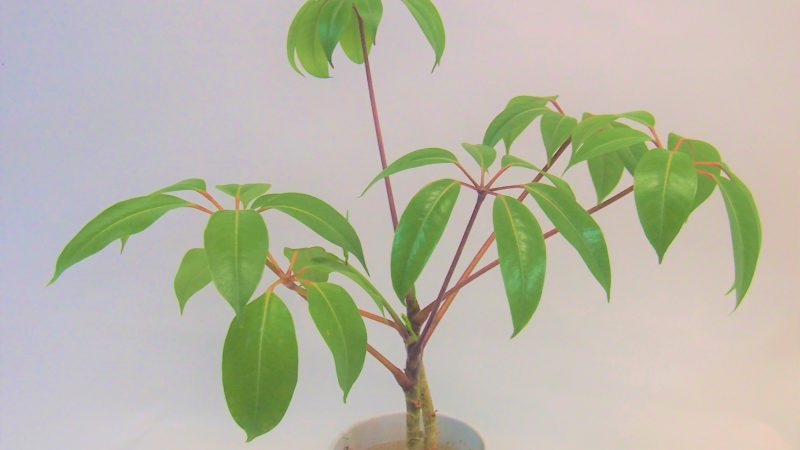 【観葉植物】ツピタンサス
