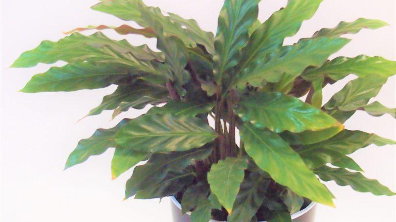 【観葉植物】カラテア・ルフィバルバ