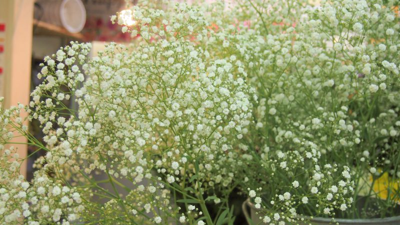 昭和村の菅家博昭さんのかすみ草を入荷しました